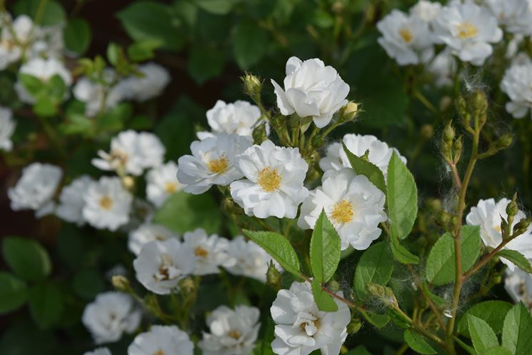 rosa bianca tappezzante