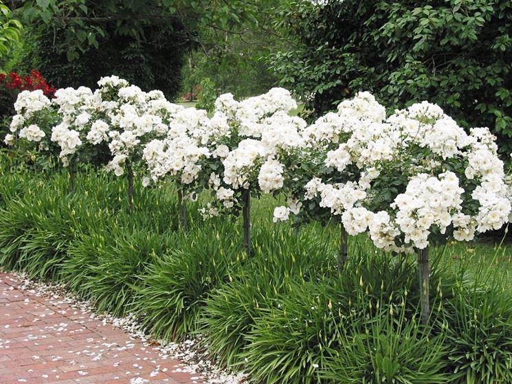 rosa bianca alberello