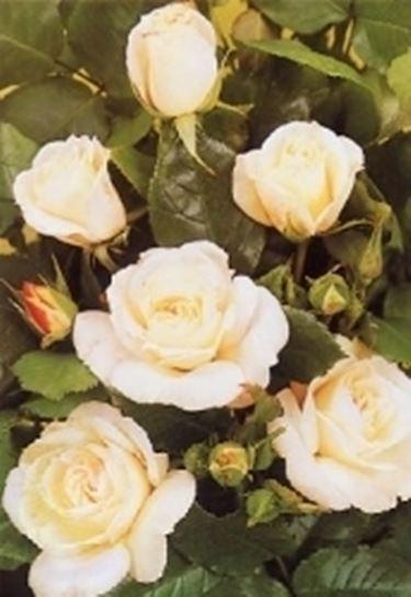 rosa floribunda paloma