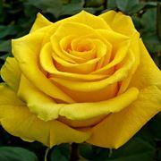 rosa gialla significato