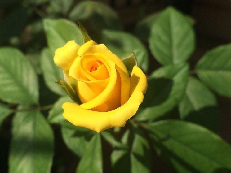 bocciolo rosa gialla