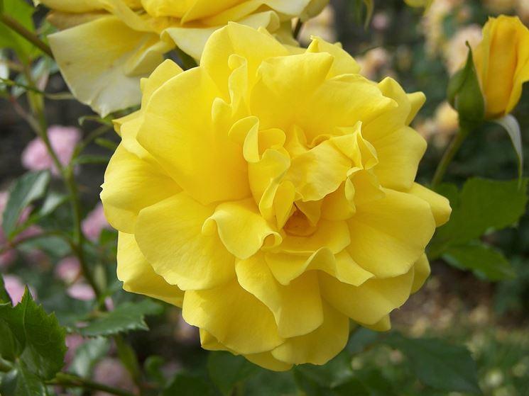 rosa foetida persiane