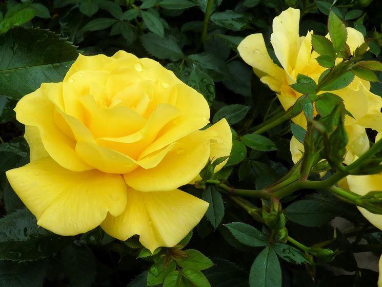 rosa gialla cespuglio