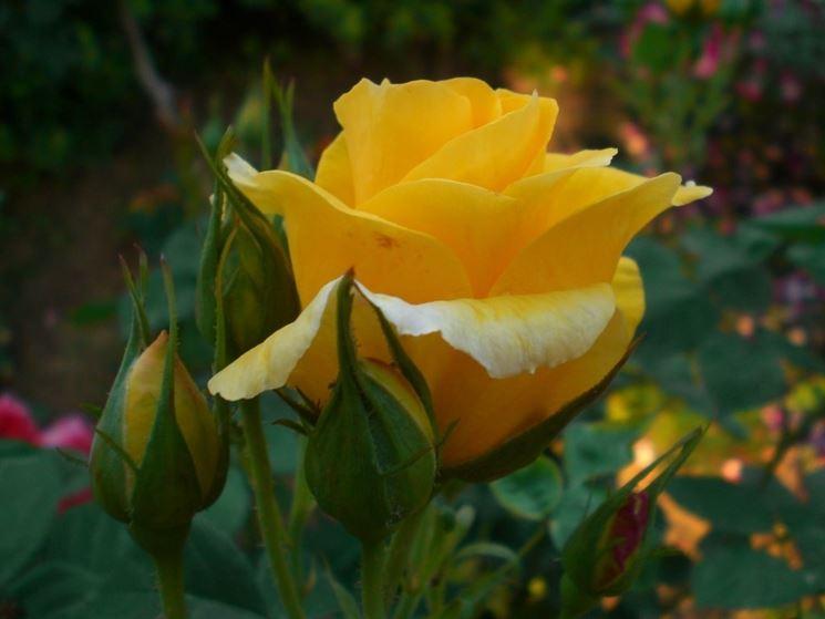 rosa gialla bocciolo