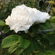 Rose ordinate per novit for Donare un giardiniere