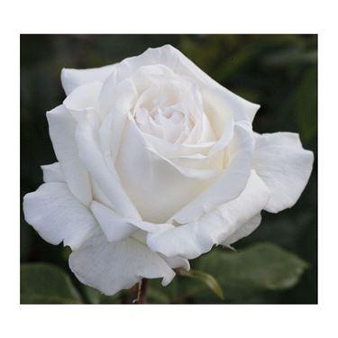 rosa bianca in primo piano