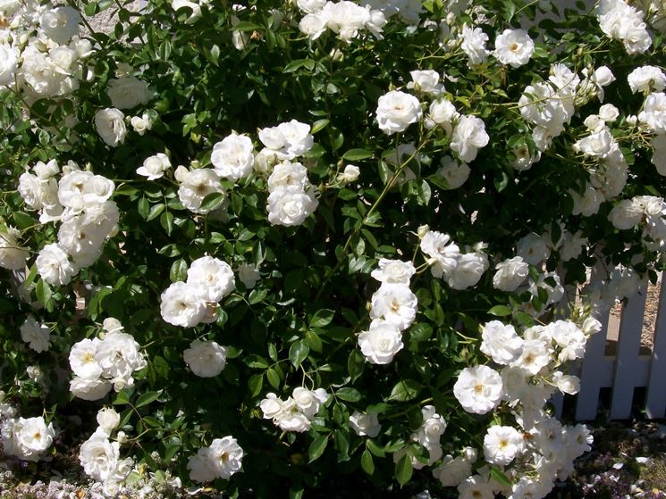 Rosa iceberg rampicante rose variet rose - Rose coltivazione in giardino ...
