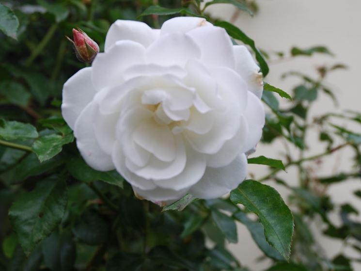 Rosa rampicante fiore