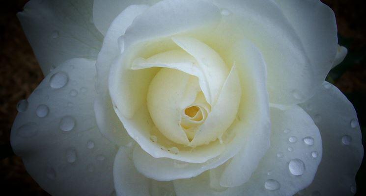 Rosa iceberg fiore