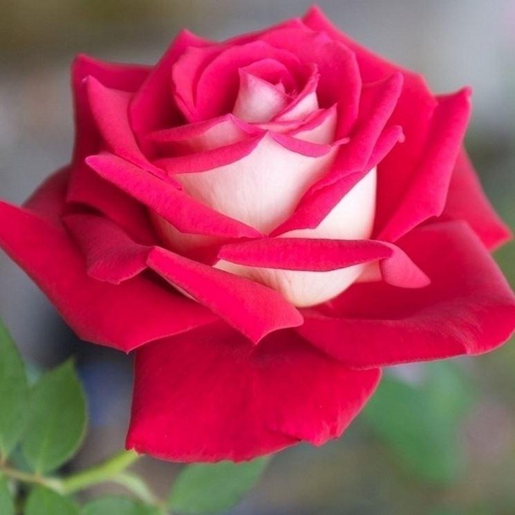 Ibrido rosa