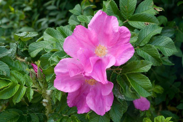 rosa <strong>rugosa</strong>