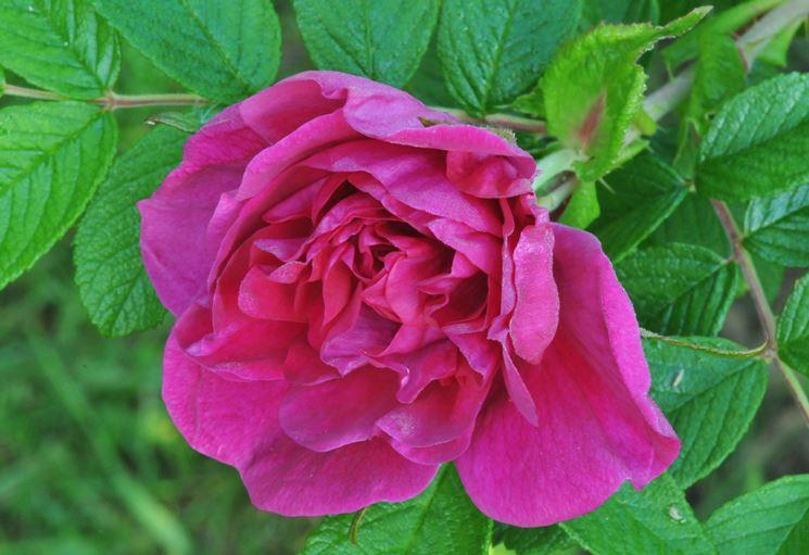 rosa rugosa fiore doppio