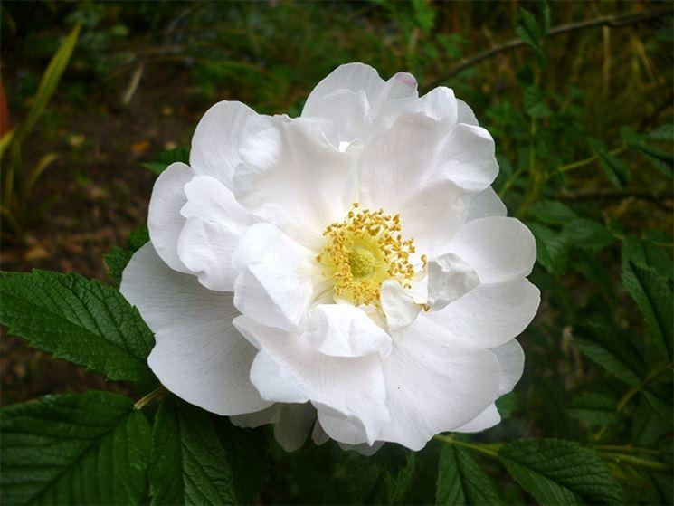 rosa rugosa bianca