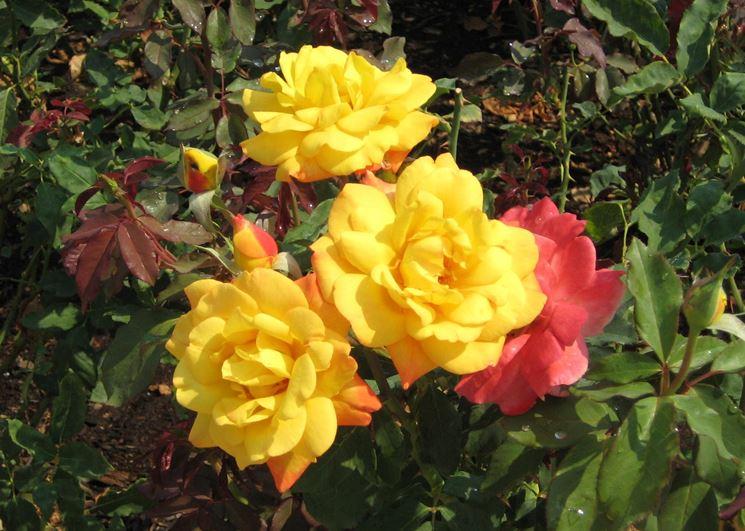 rosa tea gialla