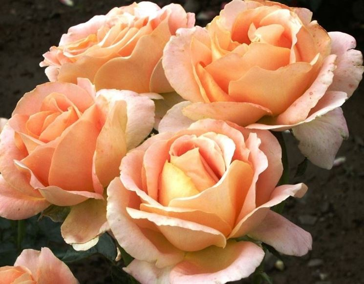 Rosa Tea - Rose - Caratteristiche della rosa tea