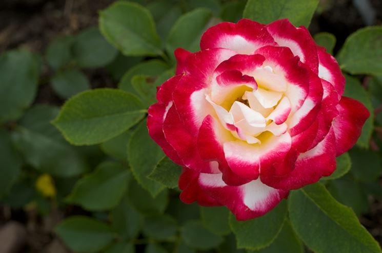 rosa tea
