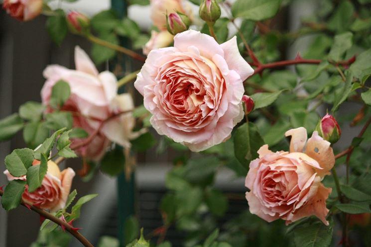 Ortensie Rosa Cipria : Rose antiche peculiarità delle
