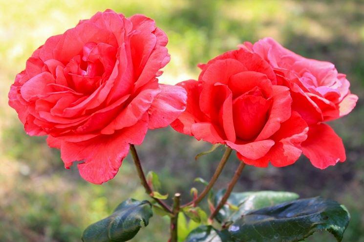 rose antiche rosse