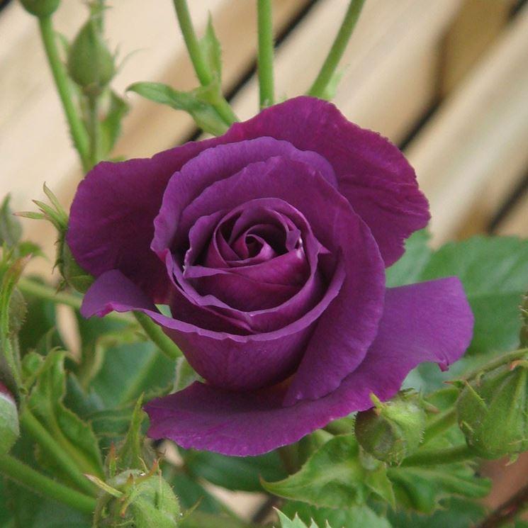 Rosa rhapsody