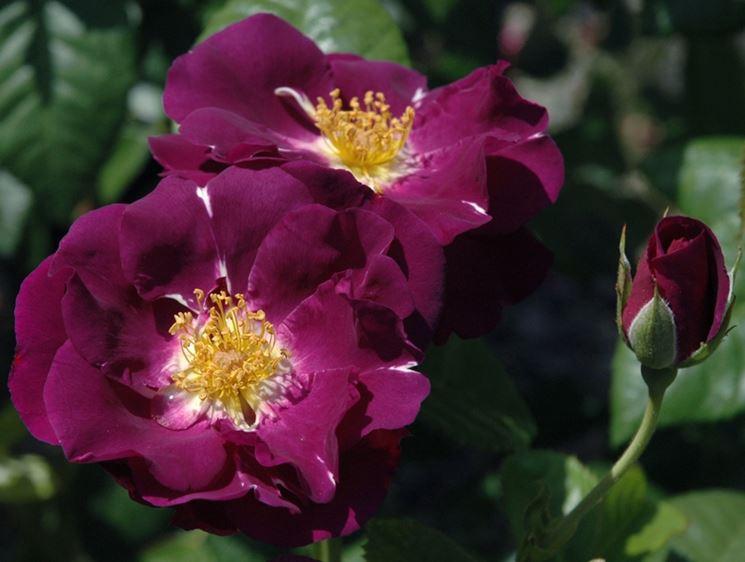 Rosa porpora