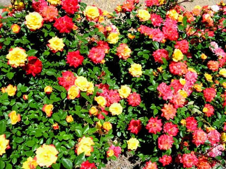 Immagine di un cespuglio di rose colorate