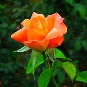 malattie rose
