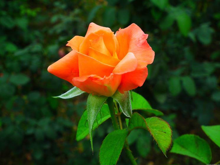 Rose malattie rose le malattie delle rose for Malattie delle rose