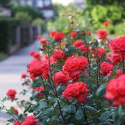 malattia delle rose