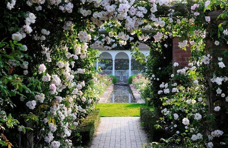 rose rampicanti bianche