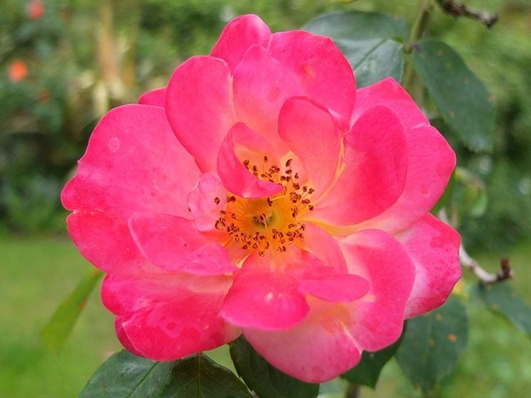 rosa rampicante a fiore semplice