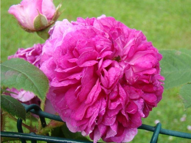 rosa rampicante a fiore doppio