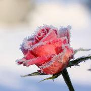 quando fioriscono le rose