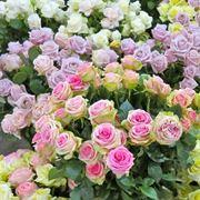 rose rampicanti senza spine