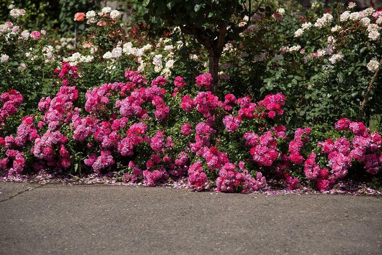 roselline rosa