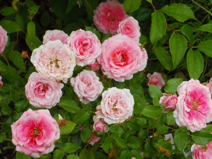 Roselline rose coltivare le roselline for Rose da giardino