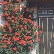 roseto rampicante