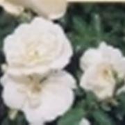 come piantare le rose