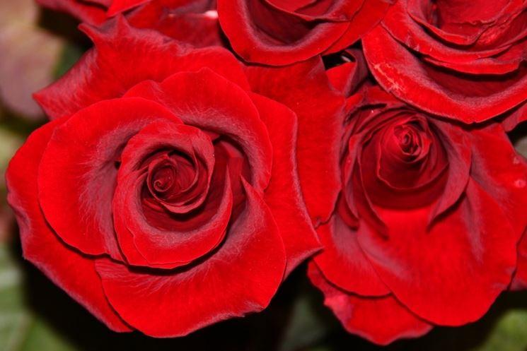La più conosciuta, la Rosa Rossa