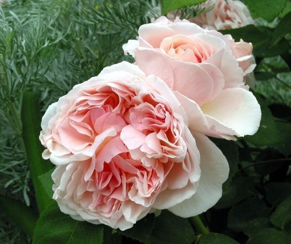 Variet di rose rose rose variet for Rose color rosa antico