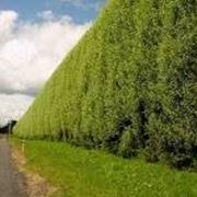 alberi da siepe