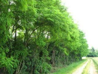 Alberi da siepe siepi - Piccoli alberi da giardino ...