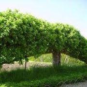 alberipersiepe