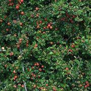 Siepe spinosa di cotoneaster