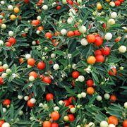 Bacche colorate del Solanum