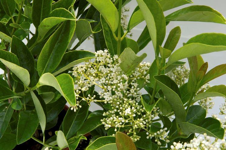 Coltivare siepi da balcone siepi siepi da balcone - Sempreverde da giardino ...