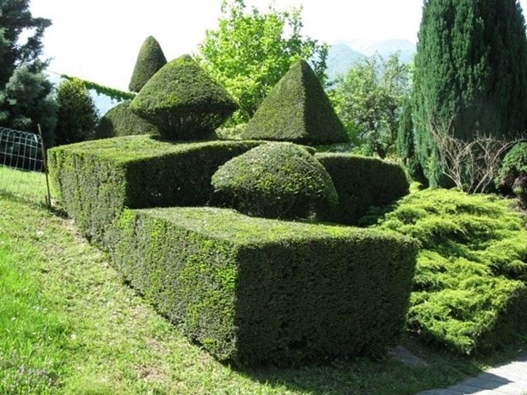 Coltivare siepi di bosso siepi coltivare siepi bosso - Siepi ornamentali da giardino ...