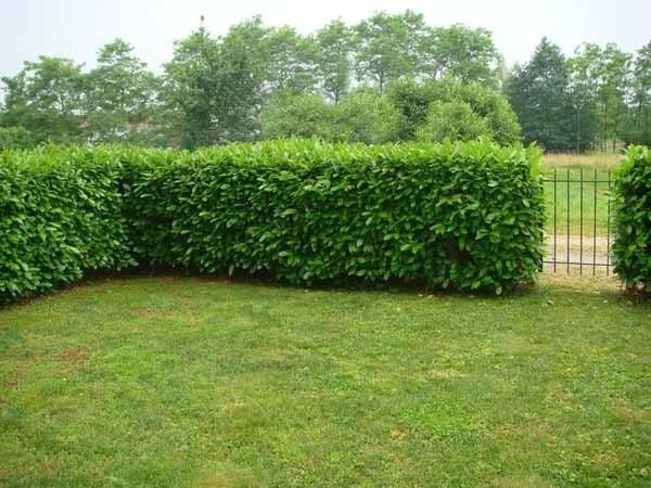 Coltivare siepi di bosso siepi coltivare siepi bosso - Nomi di piante da giardino ...