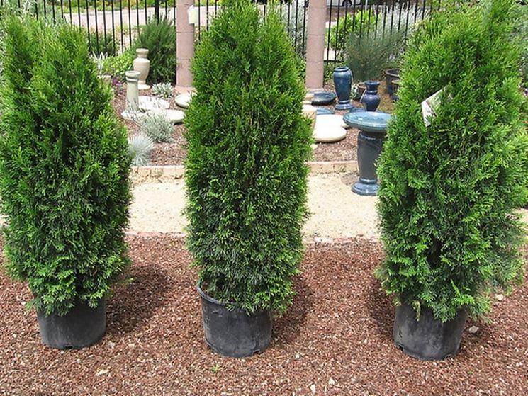 Consigli per piantare le siepi siepi piantare le siepi for Siepe in vaso