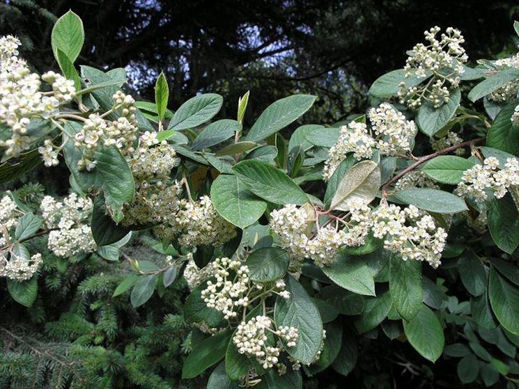 Coltivazione cotoneaster lacteus