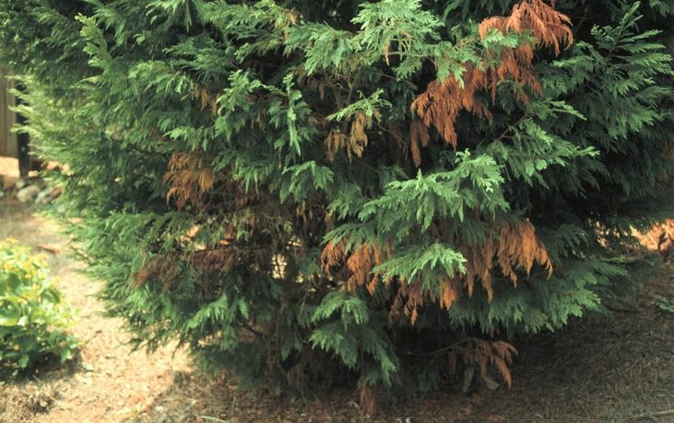 Il cancro del cipresso si manifesta con un ingiallimento delle foglie